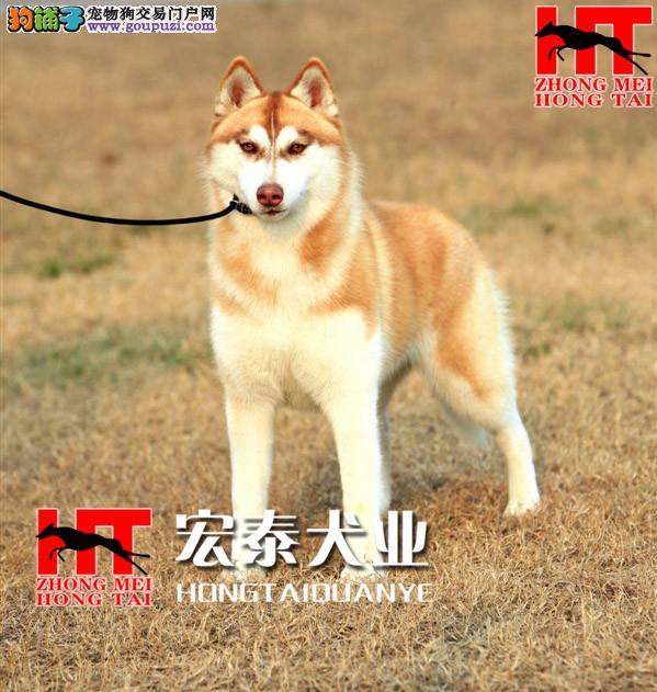 经典三把火 堪称最帅名犬 高品质哈士奇幼犬待售
