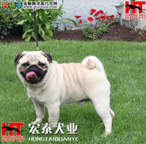 实体狗场 专业繁殖精品巴哥犬 来场可看狗父母。
