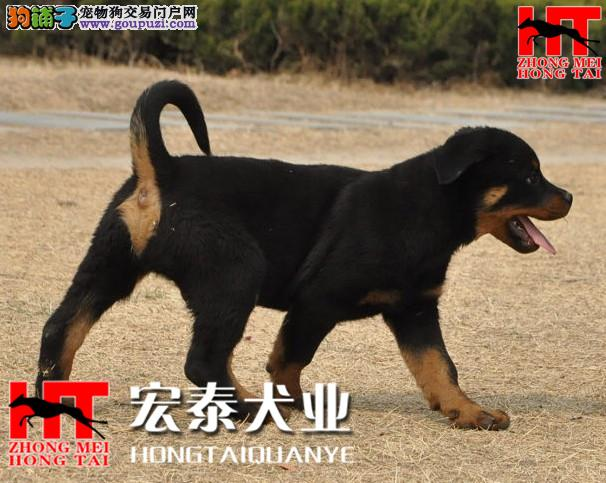 FCI认证犬舍出售高品质/健康/纯种/罗威纳幼犬