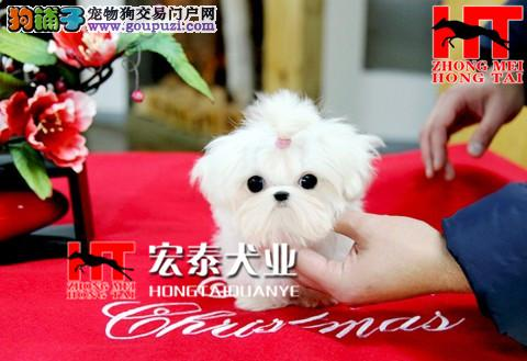 出售马尔济斯幼犬/北京宏泰犬业/签协议8折热销中!