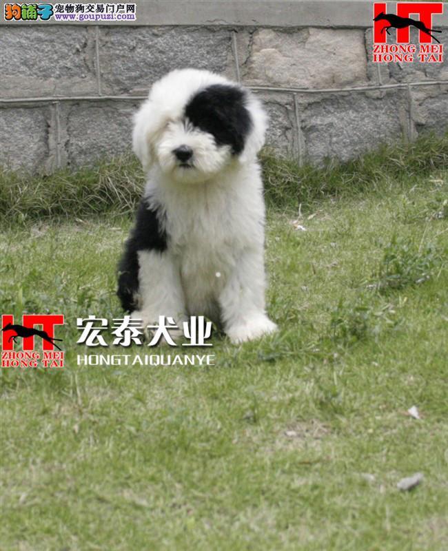 宏泰犬舍出售纯种古牧幼犬/白头齐肩通背/健康