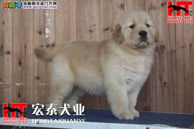 双血统金毛 签合同保纯种保健康 北京送狗上门挑选