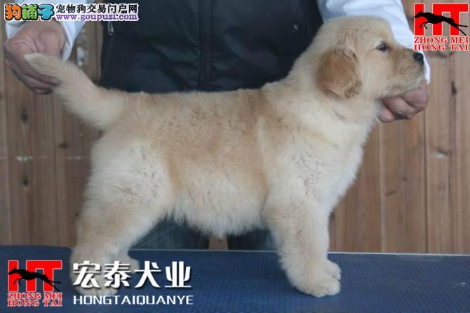 双血统金毛 签合同保纯种保健康 北京送狗上门挑选1