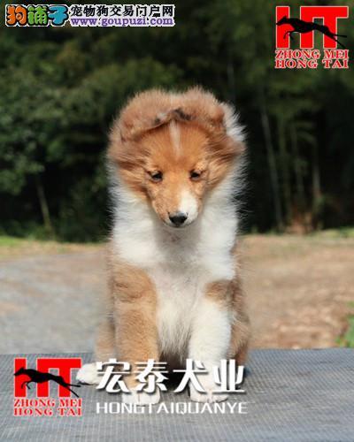 宏泰犬业直销 2/4月龄喜乐蒂幼犬 疫苗已齐