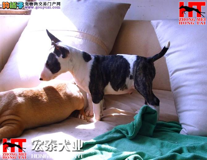宏泰狗场 纯种健康牛头梗犬、三年联保、可签协议