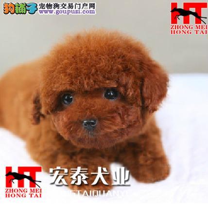 犬舍直销迷你/玩具/茶杯小泰迪宝宝 FCI认证犬业。1