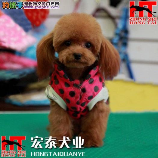 出售精品泰迪幼犬 保质量 保健康 本地区可以送货