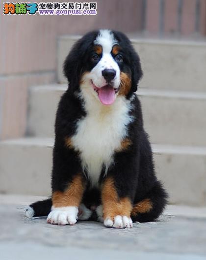 长沙市出售伯恩山犬 公母都有 三针齐全 完美售后 健康