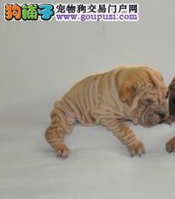 纯种沙皮幼犬蠢蠢可爱幼犬出售/CKU认证品质绝对保证