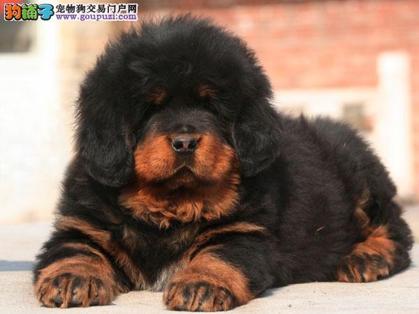 专注于培育中高端宠物基地 纯种藏獒幼犬待售