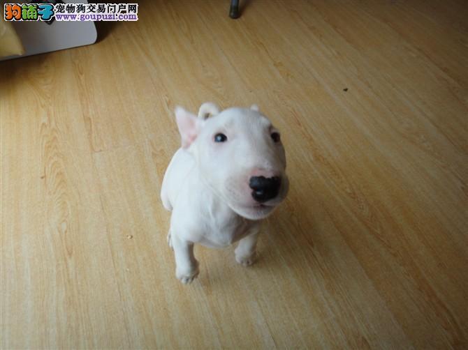 上海子弹头高品质双冠牛头梗幼犬待售签合同保纯种健康