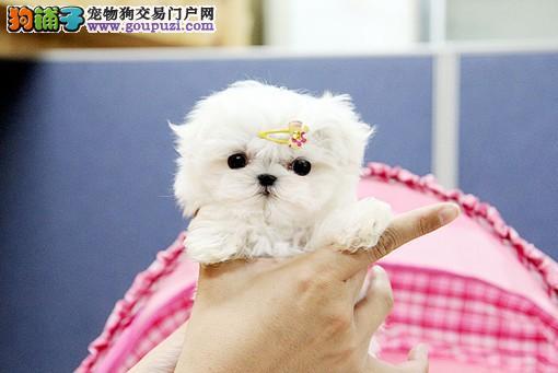 专业繁殖名犬基地出售纯种健康的马尔济斯幼犬