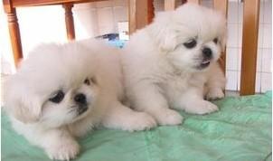 狗场出售,极品京巴幼犬品相超好,让你爱不释手