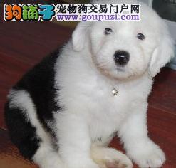 贵阳家养赛级古代牧羊犬宝宝品质纯正签署各项质保合同