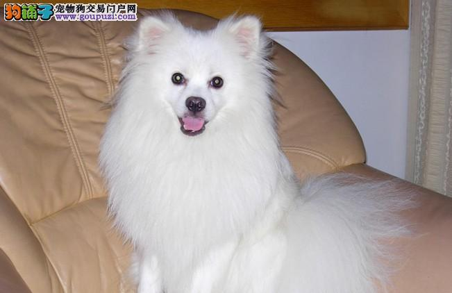 雪白的身影像是天使的化身银狐宝宝期待你