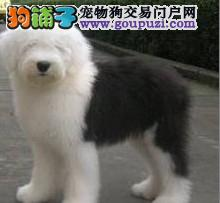 古代牧羊犬最大的正规犬舍完美售后质量三包完美售后