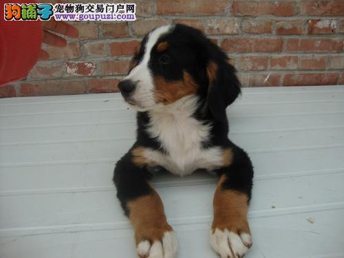 犬场售卡斯罗犬加纳利犬伯恩山威玛犬波音达猎犬上门选