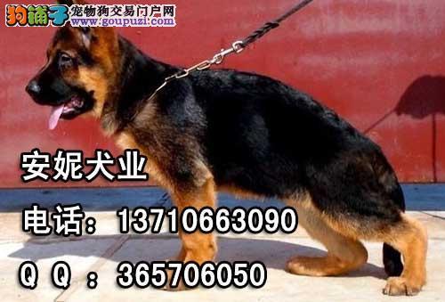 黑贝价格 德国牧羊犬黑贝价格 德国黑贝价格图片