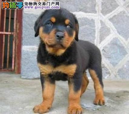 石家庄CKU认证犬舍出售高品质罗威纳多种血统供选购