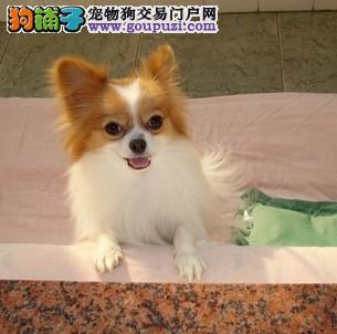 CKU专业认证头版蝴蝶犬,质量好,健康,可签证
