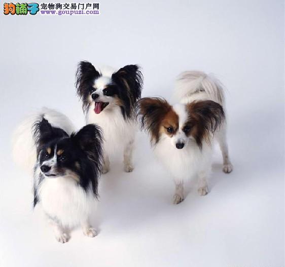 北京繁殖基地出售赛级蝴蝶幼犬签协议包纯种健康