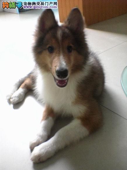 本犬业出售健康纯种的苏牧幼犬