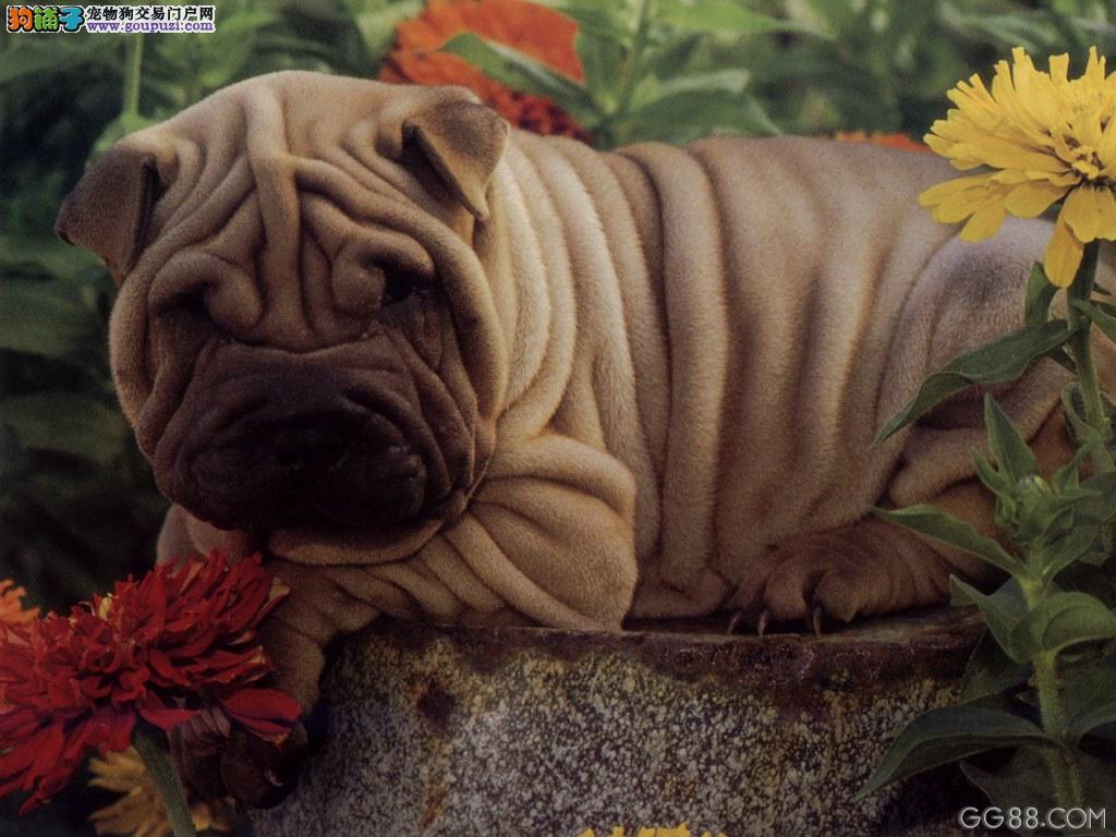 经典 丑犬 沙皮幼犬出售 签协议质保