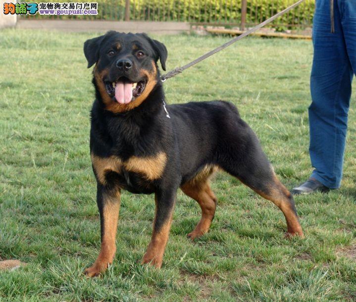 合肥售自己繁殖罗威那犬 赛级罗威纳免费送狗狗上门
