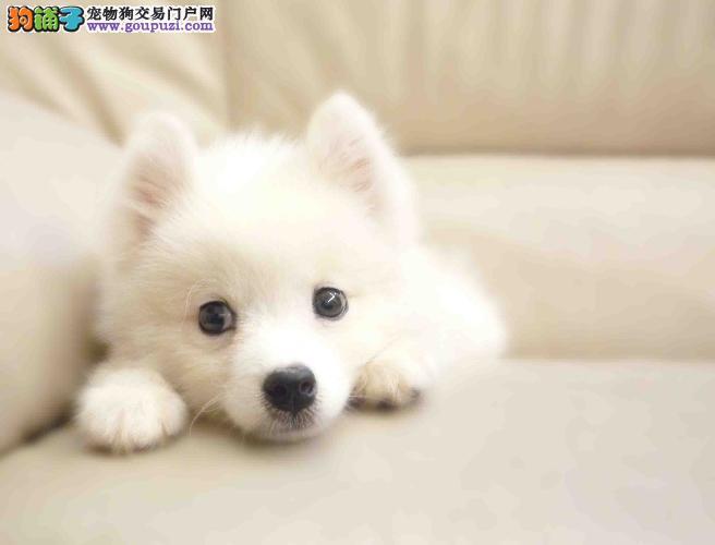 训练银狐犬的基本要领有哪些