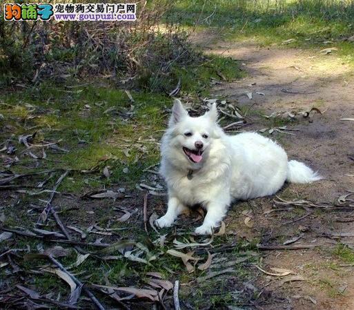 沈阳血系银狐幼犬骨量超大超帅气 不同品质价位可选