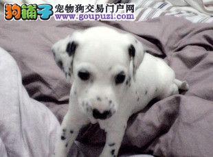 出售颜色齐全身体健康斑点狗喜欢微信咨询