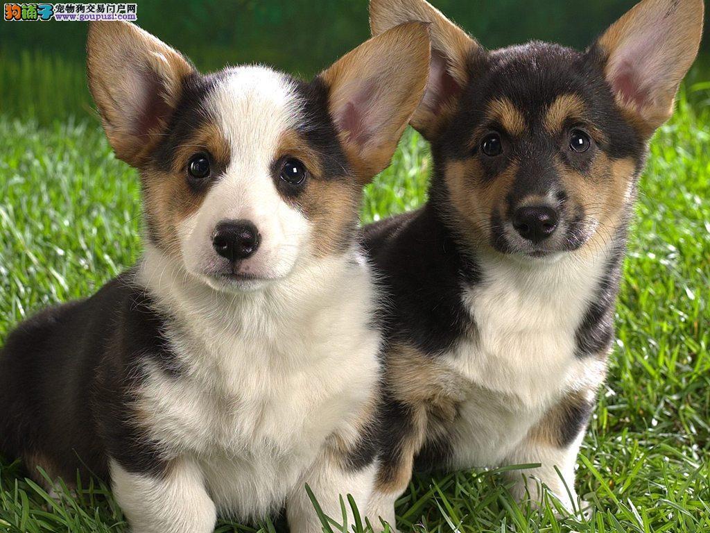 纯种威尔士柯基幼犬狗狗出售 两色三色均有