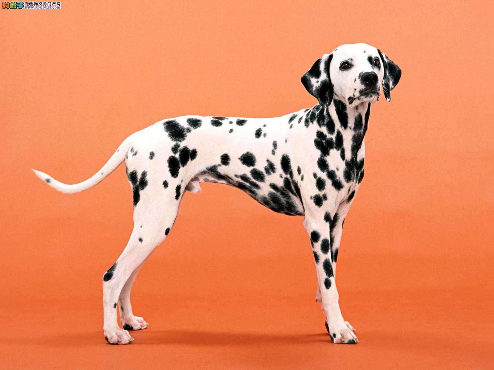 北京猛犬繁殖基地出售斑点宝宝,活泼可爱三个月