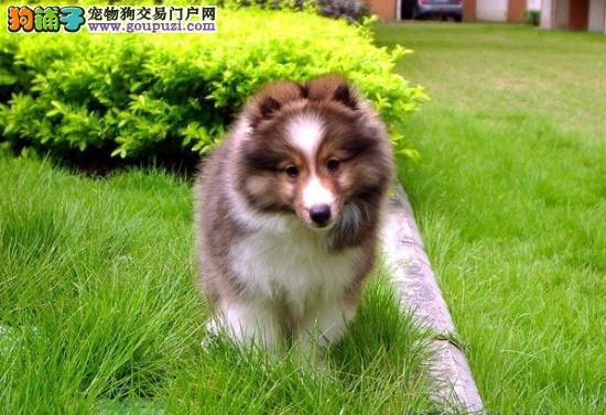 极品喜乐蒂出售 专业繁殖血统纯正 提供养狗指导