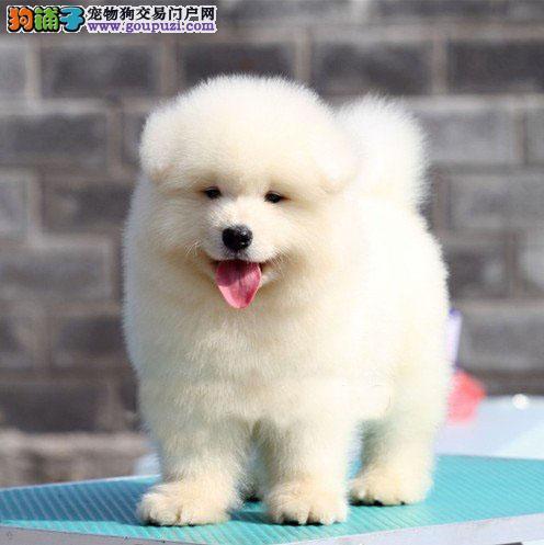 西安正规狗场知晓纯种萨摩耶犬可视频看萨摩可送货
