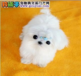 广州哪里有卖马尔济斯犬 宠物狗 纯种马尔济斯多少钱