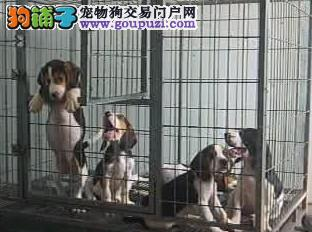 苏州哪里有比格犬出售 大众犬业常年直销 包纯保健康
