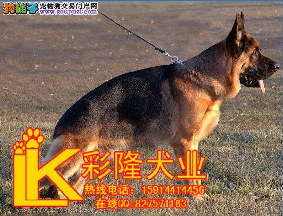 纯种德国牧羊犬 弓背弯腿狼狗 黑贝长毛短毛德-一年的短毛黑贝 短毛黑图片