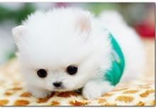 精品茶杯犬 专业繁殖 包纯种健康 签订合同1