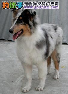 张家界出售纯种三色雕色苏牧幼犬苏格兰牧羊犬品质保证