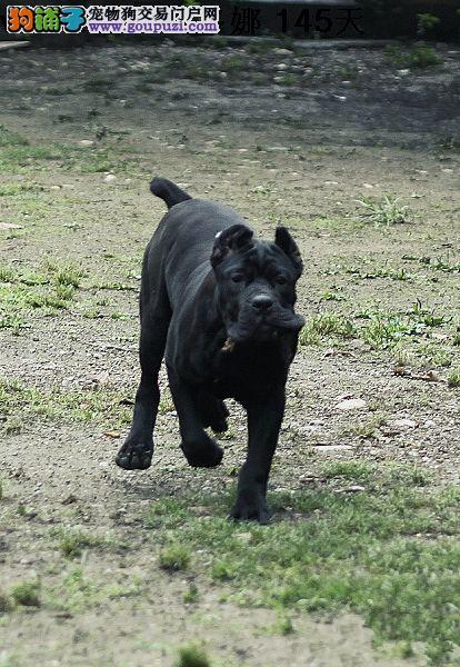 公母均有的福州卡斯罗犬找爸爸妈妈可以送货上门