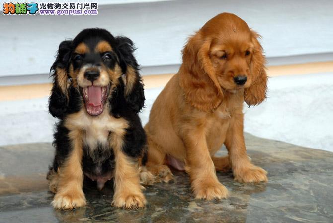 西宁高颜值 高品质纯种可卡犬周边地区可送上门