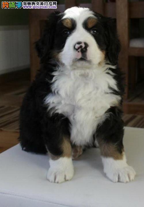 出售伯恩山犬 波音达犬 魏玛犬 本市可送货上门
