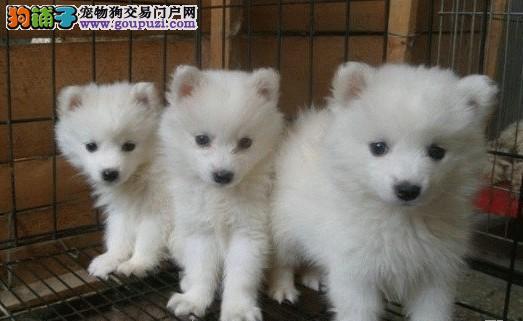 精品纯种银狐犬出售中 疫苗驱虫已完成 售后服务保障2