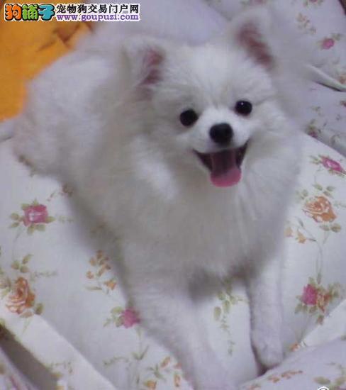 精品纯种银狐犬出售中 疫苗驱虫已完成 售后服务保障4