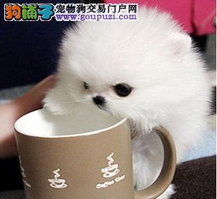 出售颜色齐全身体健康茶杯犬期待您的光临4