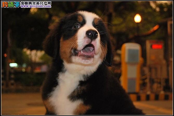北京顺义区售伯恩山幼犬 防疫全伯尔尼兹山地犬幼犬