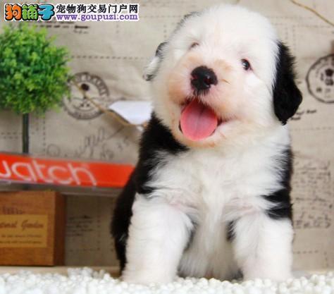 古牧幼犬出售白头通背双杏眼体态完美保健康包疫苗