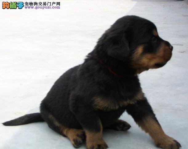 罗威纳幼犬威武、帅气力大无比冠军品质