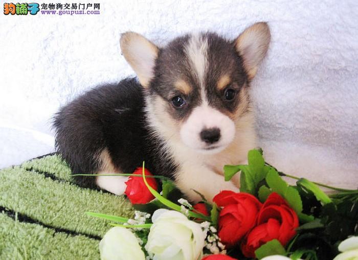 出售纯种健康的柯基幼犬微信咨询看狗